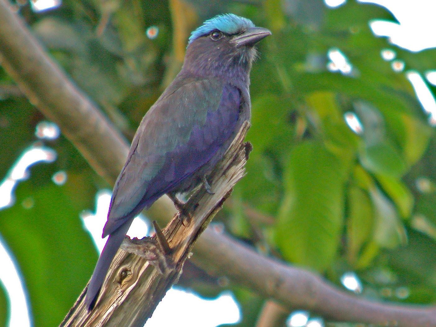 Purple-winged Roller - Pete Morris