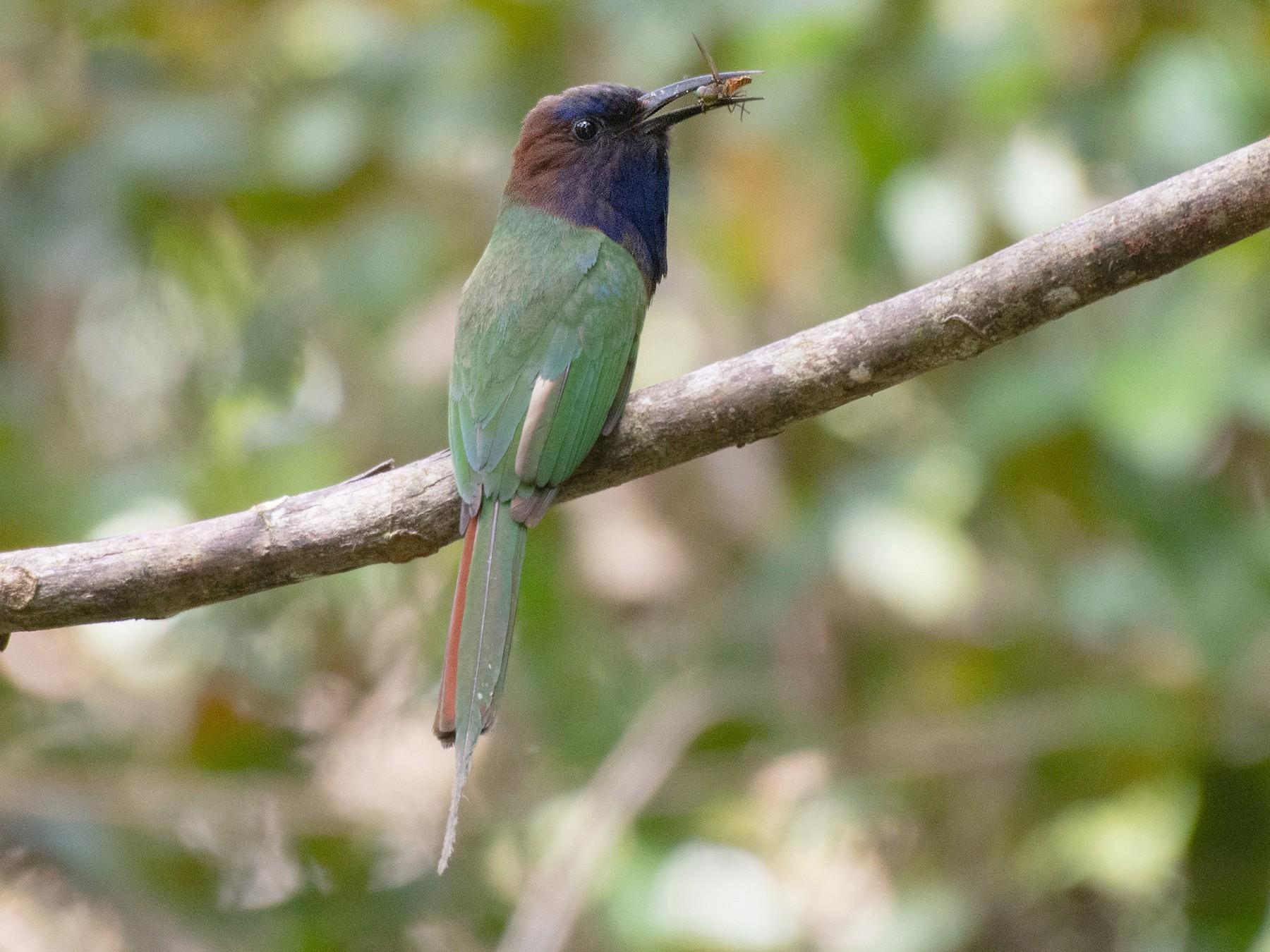 Purple-bearded Bee-eater - Ana Paula Oxom