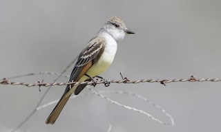 - Ash-throated Flycatcher