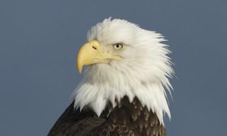 - Bald Eagle