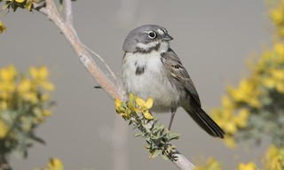 - Bell's Sparrow (canescens)