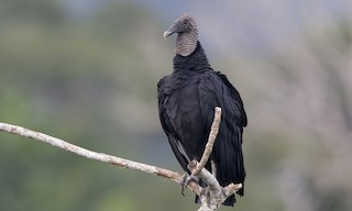 - Black Vulture