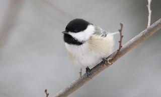 - Black-capped Chickadee