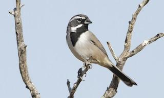 - Black-throated Sparrow