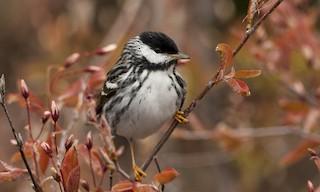 - Blackpoll Warbler