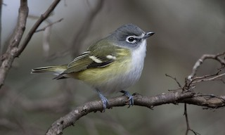 - Blue-headed Vireo