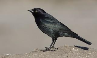 - Brewer's Blackbird