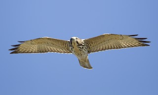 - Broad-winged Hawk