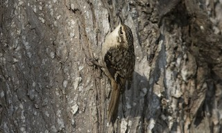 - Brown Creeper (occidentalis Group)