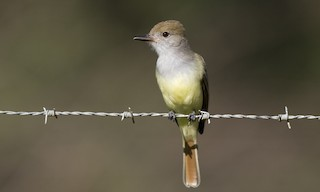 - Brown-crested Flycatcher