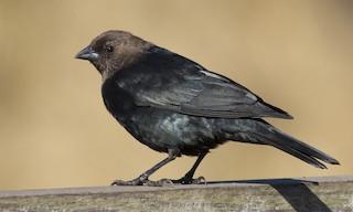 - Brown-headed Cowbird