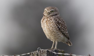 - Burrowing Owl