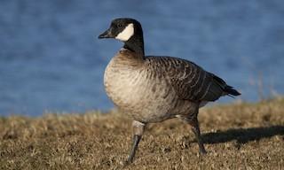 Cackling Goose (Aleutian), ML27267631