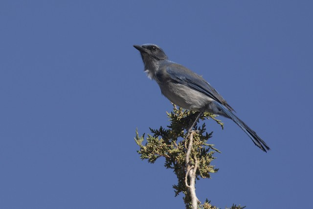 © Alec Hopping - Woodhouse's Scrub-Jay