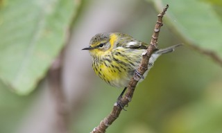- Cape May Warbler