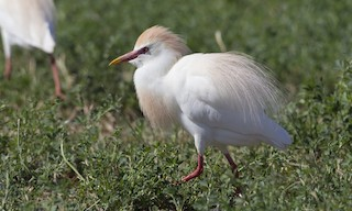 - Cattle Egret