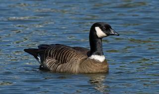Cackling Goose (Aleutian), ML272820561