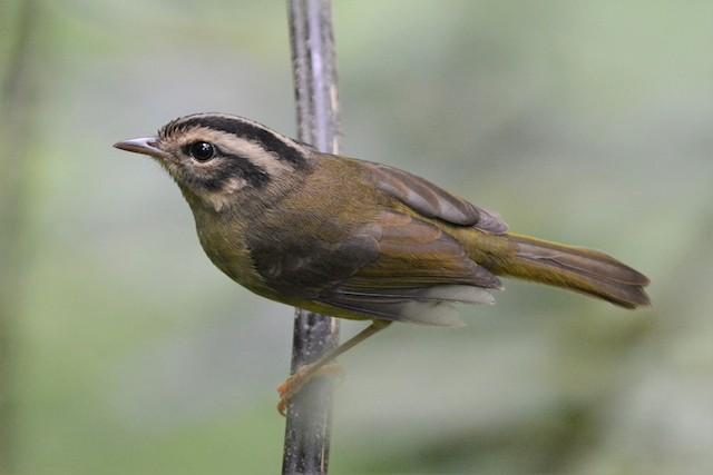 Costa Rican Warbler