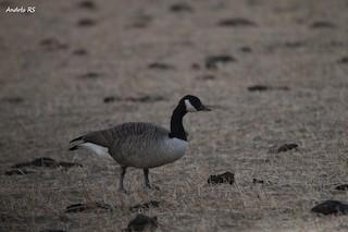 Canada Goose, ML272851821