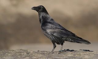 - Common Raven