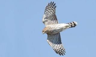 - Cooper's Hawk