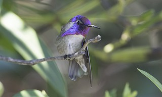 - Costa's Hummingbird
