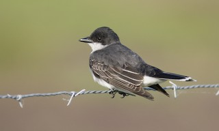 - Eastern Kingbird