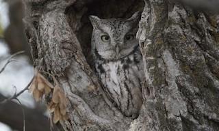 - Eastern Screech-Owl