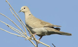 - Eurasian Collared-Dove