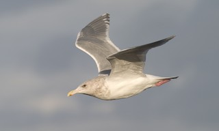 - Glaucous-winged Gull