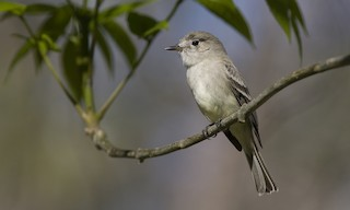 - Gray Flycatcher