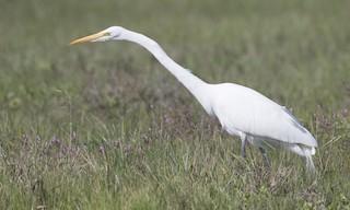- Great Egret