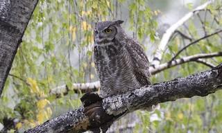 - Great Horned Owl