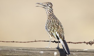 - Greater Roadrunner