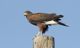 - Harris's Hawk