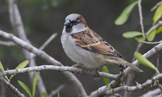- House Sparrow