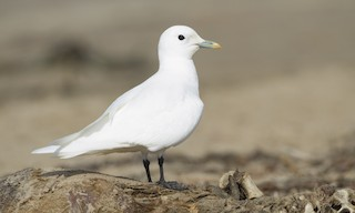 - Ivory Gull