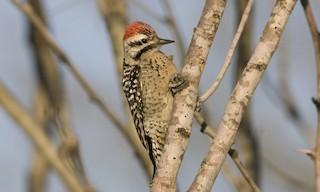 - Ladder-backed Woodpecker