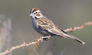 - Lark Sparrow