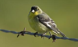 - Lesser Goldfinch