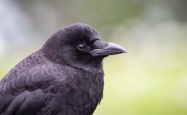 ©Ian Davies - Northwestern Crow
