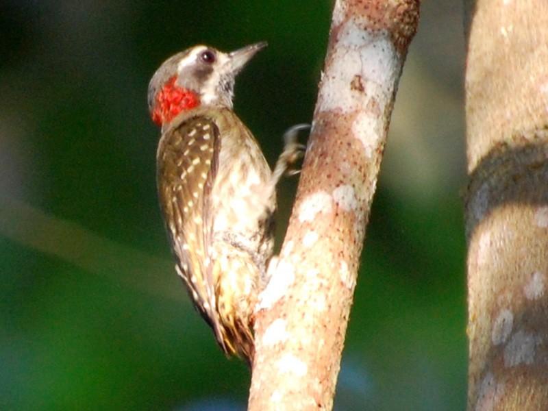 Sulawesi Pygmy Woodpecker - Dirk Tomsa