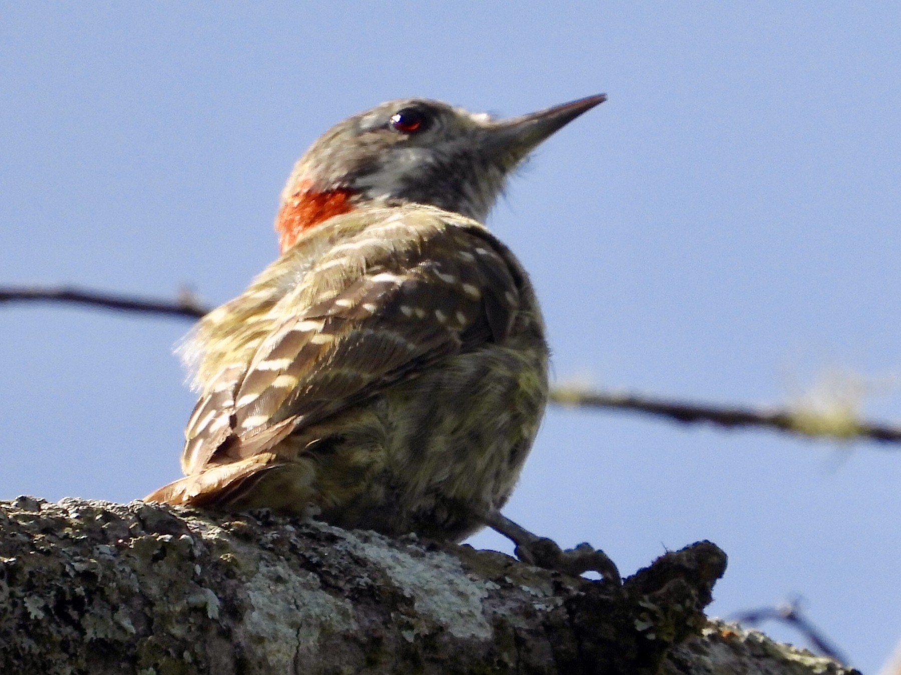 Sulawesi Pygmy Woodpecker - Gary Douglas