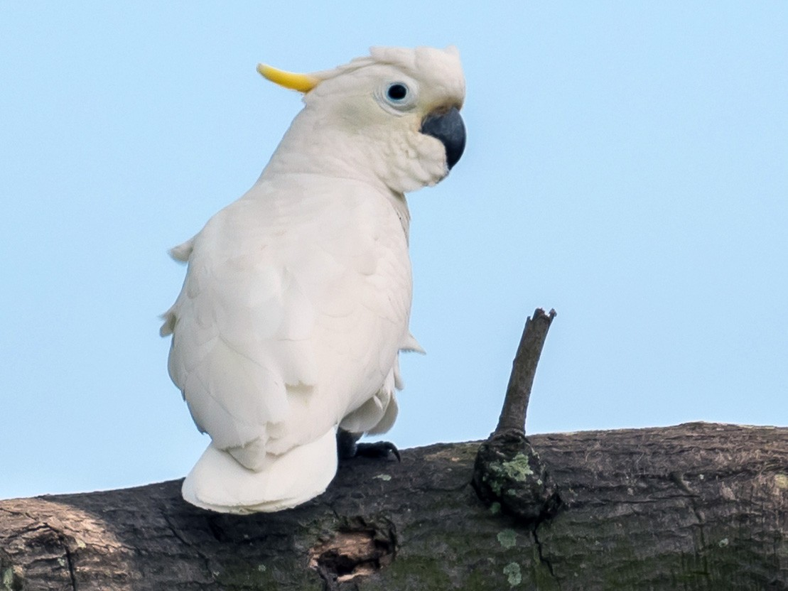 Yellow-crested Cockatoo - Leslie Loh