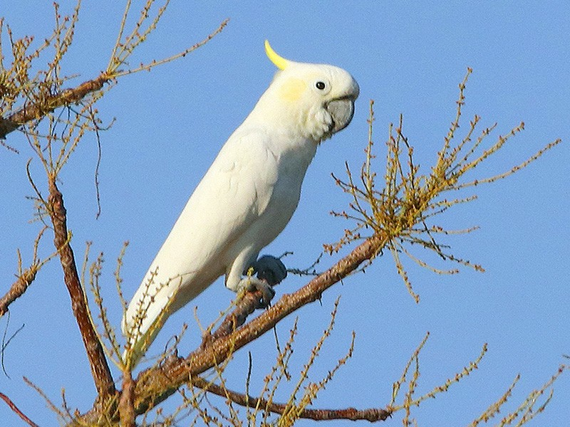 Yellow-crested Cockatoo - Tim Avery