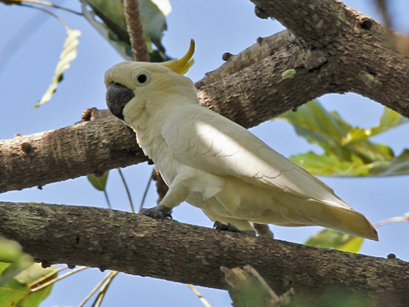 Yellow-crested Cockatoo - Lars Petersson
