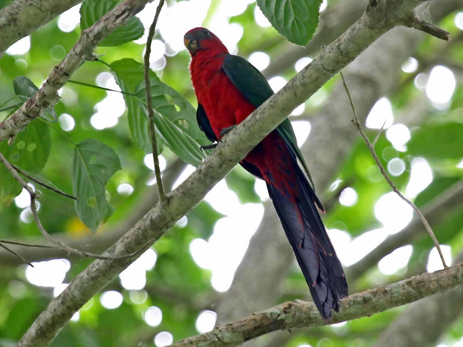 Moluccan King-Parrot - Phillip Edwards
