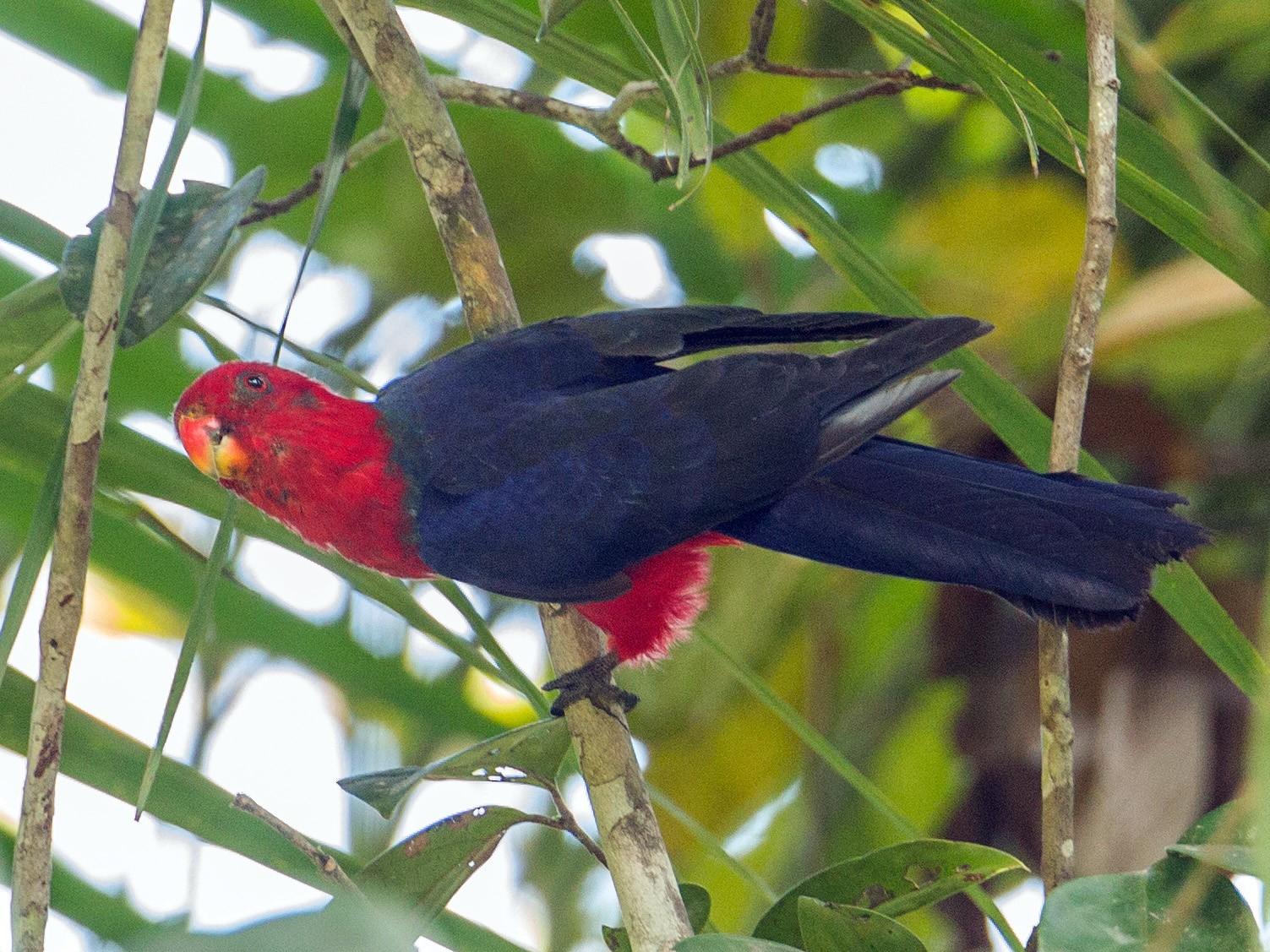 Moluccan King-Parrot - Christoph Moning