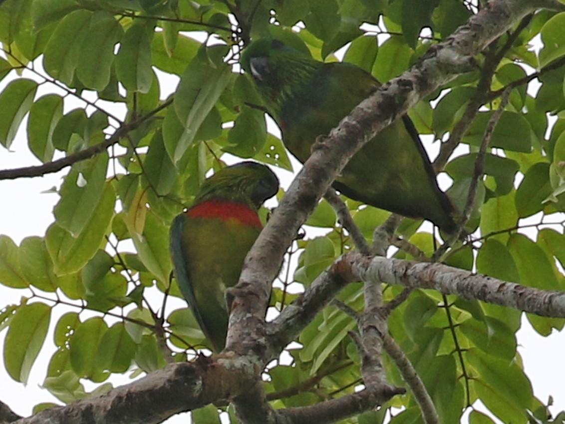 Salvadori's Fig-Parrot - Charley Hesse https://www.schoolofbirding.com/