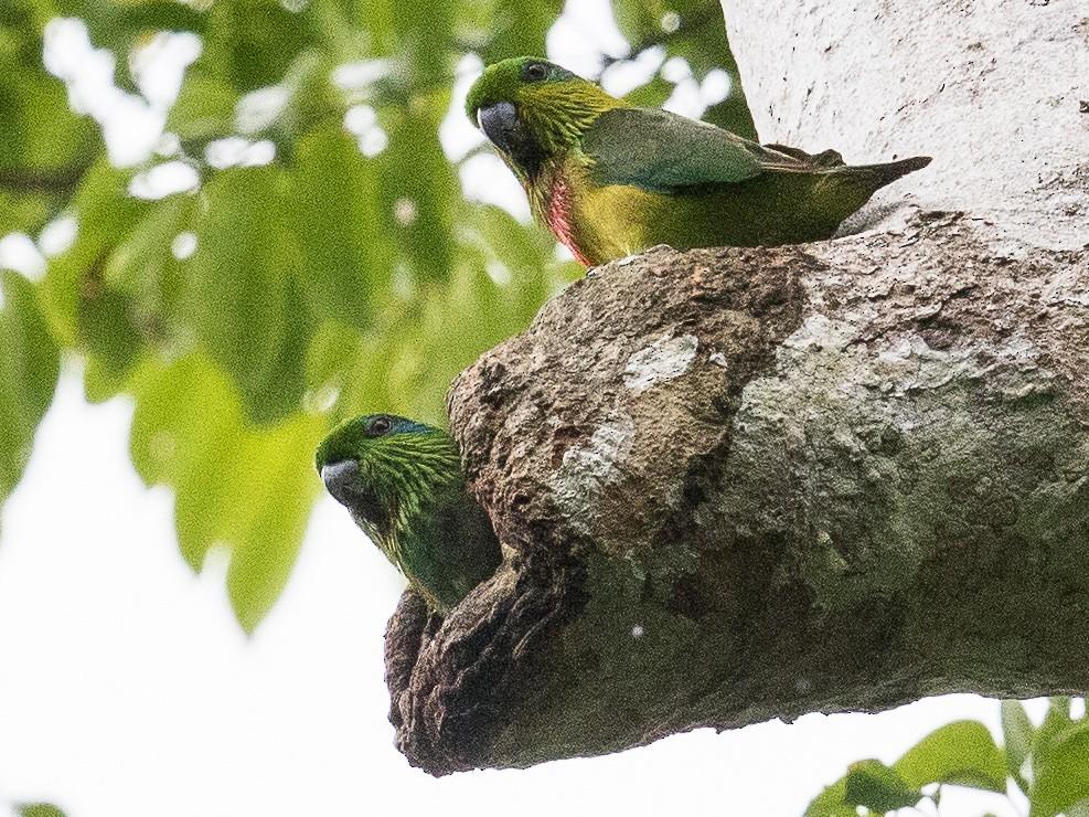 Salvadori's Fig-Parrot - Eric VanderWerf